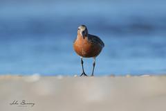 Red Knot (johnbacaring) Tags: shorebird red knot breeding redknot nature wildlife birds birding