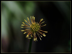 Globe Flower - Remains of the day (ronramstew) Tags: plant flower bloom garden birchmoor stmichaels merseyside spring globeflower fallen remains trollius troliuschinensis goldenqueen