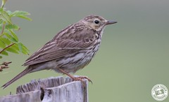 Meadow Pipit - Anthus pratensis (Lauren Tucker Photography) Tags: bird highlands isleofmull meadowpipit nature scotland wildlife anthus pratensis uk north west england highland unitedkingdom summer spring 2018 june holiday canon slr 7d markii camera photographer photography photograph photo image picture pic copyright ©laurentuckerphotography allrightsreserved macro close up wild