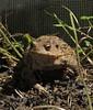 celui qui n'était pas content (laetitiablableuz) Tags: nature yonne bourgogne burgundy france animal crapaud batracien jardin garden potager croque