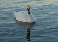 ▲◄ 💫•reflection of swan and ripples•💫►▲ (SheAna(Thank you kindly for over 188K View's!)) Tags: bird reflection swan danube outdoor