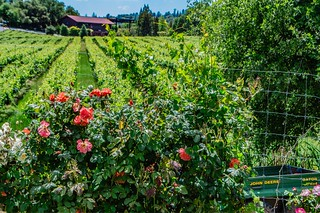 Vineyards and Roses