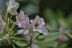 The Bee And The Rhododendron Flower (Scott 97006) Tags: rhododendron flowers bokeh bee insect flower blossom plant lens