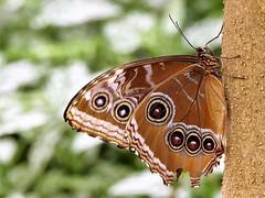 butterfly 4 (norbert.wegner) Tags: allnatural macromonday butterfly favtop150 schmetterling macro