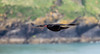Chough  in flight 159_1166 (Baffledmostly) Tags: marloes pembrokeshire wales chough flying