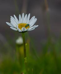 Margarita e inquilino (joselito6001) Tags: 2018 2470 bermeo mayo nublado primavera sigma flor insecto macrofotografia margarita
