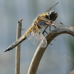 Four spotted Chaser P1750483 thumbnail