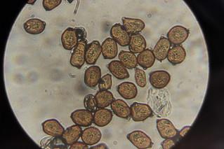 Uromyces ficariae on Ficaria verna