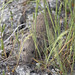 Vole,Sweet Water Spring, Promontory, UT_1