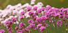 Thrift - Armeria maritima (Roger Wasley) Tags: thrift armeriamaritima ardmore ireland flower wild coast footpath coastal flowers county waterford