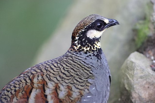 Taiwan partridge (Arborophila crudigularis)