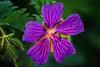 Purple (anderswetterstam) Tags: flowers nature seasons spring floral botanical purple springtime growth beginnings freshness macro closeup