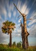 Relic (tshabazzphotography) Tags: remnant relic old deadtree tree stripped bare palm outdoors nature naturecomposition landscapephotography landscapephotos floridalandscape morning glow titusville florida clouds skyglory sky bluesky streaky