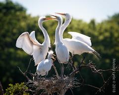 Great Egrets (karenmelody) Tags: animal animals ardeaalba ardeidae bird birds coastaltexas egret egrets greategret highisland location pelecaniformes smithoaksrookery texas usa vertebrate vertebrates