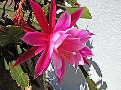 Christmas cactus, the magnificent (rotraud_71) Tags: cactus kaktus flower macro spring