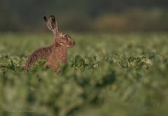 Hare of a time (budgiepaulbird) Tags: hare brownhare canon7dmark2 100400mark2 eveninglight fens springwatch