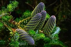 Abies Koreana (Stephen Reed) Tags: isabellaplantation conifer tree pinecone surrey spring lightroomcc nikon d7000