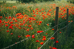 Very dangerous poppies :-)) (Inka56) Tags: 7dwf fence flowers poppies barbwire field grass hff weeds crazytuesdaytheme flora