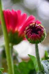 When I grow up (James_D_Images) Tags: flower bud opening pink purple bokeh garden spring gerbera closeup stems leaves green backlit