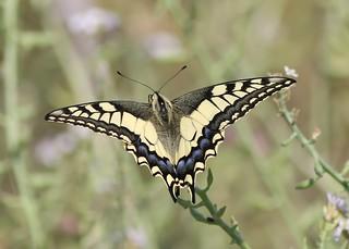 Swallowtail ( Papilio machaon)