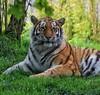 'Eye of the tiger!' 10/30 😊🐯😊 (LeanneHall3 :-)) Tags: lyrics challenge song tiger orange white black stripes animal fur green grass yorkshirewildlifepark landscape canon 1300d