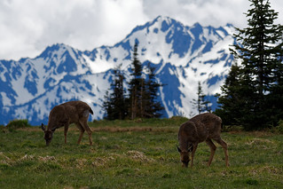 Deer grazing at Hurricane Ridge