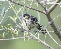 Juvenil de Carbonero (Tobales) Tags: olivo hide juvenil carbonero sherpa barcelona aves pajaritos