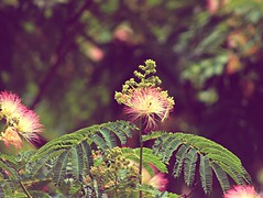 Vintage Mimosa....(Explored) (Patlees) Tags: tree flower south nc vintage mimosas explored frontpage 36