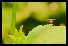 """On a Knife Edge..."" (NikonShutterBug1) Tags: nikond7100 tokina100mm fly insect entomology nature wildlife bokeh spe smartphotoeditor closeup macro flydayfriday"