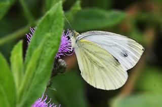 Piéride du chou - Pieris brassicae - Cabbage white butterfly