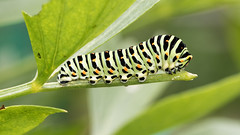 Papilio machaon (Sinkha63) Tags: france limousin corrèze commonyellowswallowtail machaon oldwordswallowtail papilio papiliomachaon papilionidae papilioninae papilionini swallowtail insecta caterpillar chenille lepidoptera animal macro nature wildlife beynat nouvelleaquitaine fra