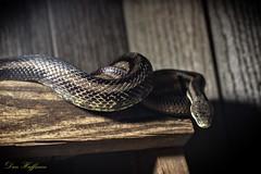 File-256 (fotodan57) Tags: skinny black shed latter snake wood dim light excited wild waiting