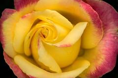 BSG Rose Macro 3-0 F LR 6-10-18 J377 (sunspotimages) Tags: flower flowers rose roses multicolored multicoloredflower multicoloredflowers multicoloredrose multicoloredroses nature