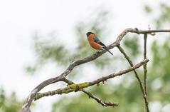 Bouvreuil pivoine/Eurasian Bullfinch (kingfisher001) Tags: bouvreuilpivoine pyrrhulapyrrhula eurasianbullfinch passériformes fringillidés
