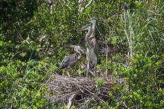 3 juvenile herons (ucumari photography) Tags: ucumariphotography everglades national park florida fl may 2018 blue heron bird animal ardeaherodias nest dsc8346 specanimal