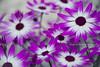 Beautiful Flowers (Jonas Dellow Photography) Tags: jonasdellowphotography ireland nikond600 flowers macro colorful purple beautiful nature natural