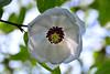 upsidedown (alim1703) Tags: alim1703 flowers greenbank gardens national trust blossom scotland