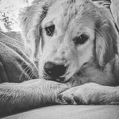 Puppy (Kol Tregaskes) Tags: koltphotography photo photography photooftheday pic picoftheday picture pictureoftheday