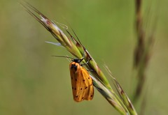 Steinflechtenbär (Setina irrorella) (Hugo von Schreck) Tags: steinflechtenbär setinairrorella hugovonschreck moth macro makro insect insekt butterfly schmetterling tamron28300mmf3563divcpzda010 canoneos5dsr