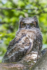 Great Horned Owl (fledgling) Tone Mapped (PerfumeG2011 (on and off )) Tags: birds nature châteauguayquébec canada baby bubovirginianus greathornedowl birdsofprey fledgling juvenilegreathornedowl photomatix