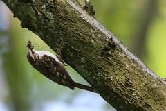 Treecreeper (Edwyn Anderton) Tags: treecreeper peakdistrict padleygorge padley longshaw longshawestate easternmoors