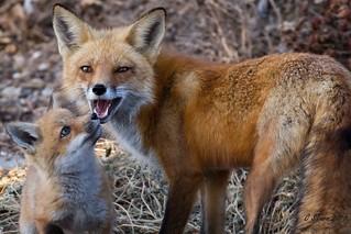 IMG_3888 red fox
