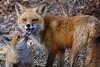 IMG_3888 red fox (starc283) Tags: starc283 wildlife flickr flicker fox kits red canon 7d nature natures finest nebraska watcher outdoors outdoor predator prairie kit foxes smug bug animal grass bear pet mammal wood naturewatcher naturesfinest smugbug