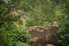 DSC_0263 (MoisesP) Tags: taitatavetacounty kenia lion wildlife safari