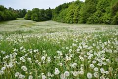 Quand les prés se couvrent de belles têtes blanches (Excalibur67) Tags: nikon d750 sigma globalvision 24105f4dgoshsma paysage landscape fleurs flowers nature prairie pissenlits dandelion