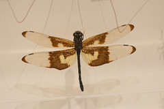 Dragonfly with lacy wings (quinet) Tags: 2017 canada ontario rom royalontariomuseum toronto museum musée naturalhistory 124