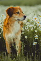 Daisyland (romanhrbek) Tags: dog daisy photography sony alpha a6500 85mm 18 bokeh portrait backround herbal flowers animal best friend spring soft colours pet sharp photo
