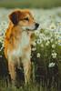 Daisyland (romanhrbek) Tags: dog daisy photography sony alpha a6500 85mm 18 bokeh portrait backround herbal flowers animal best friend spring soft colours pet sharp photo