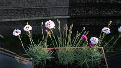 Oeillets  à ma fenêtre (jeanlouisallix) Tags: oeillets fleurs plantes anglais mignardises flowers rouen seine maritime haute normandie france jardinage jardinière