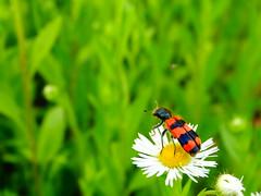 Bzz bzz bzz..! (Ovidiu S.) Tags: bug nature green dandelion yellow red sony hx hx300v dschx300